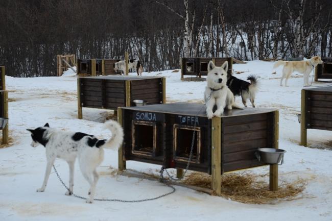 Schlittenhunde Kirkenes