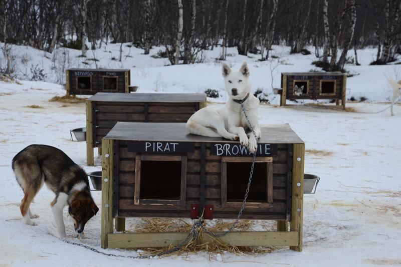 Schlittenhunde des Schneehotels Kirkenes.