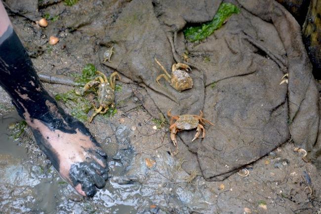 krabben-im-watt