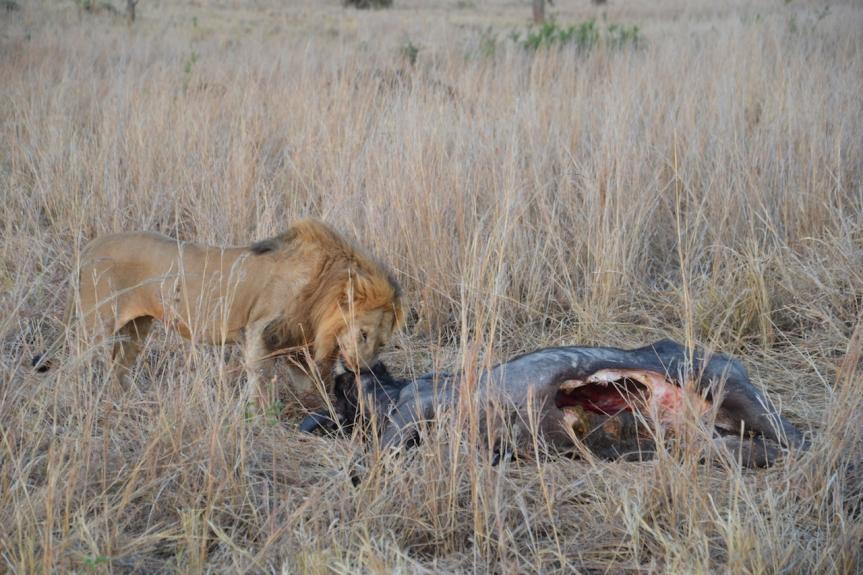 Löwe frisst Büffel