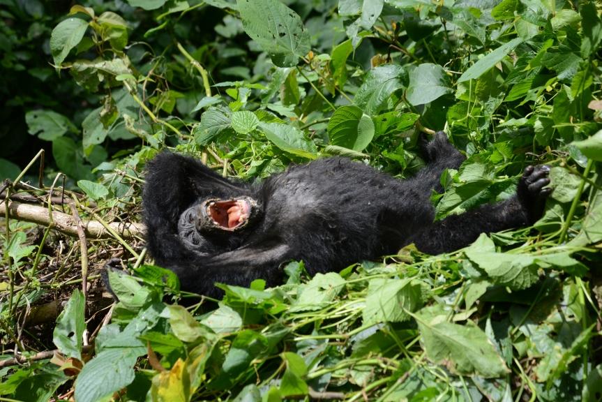 gorilla-baby-2