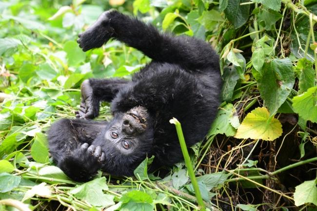 gorilla-baby-3