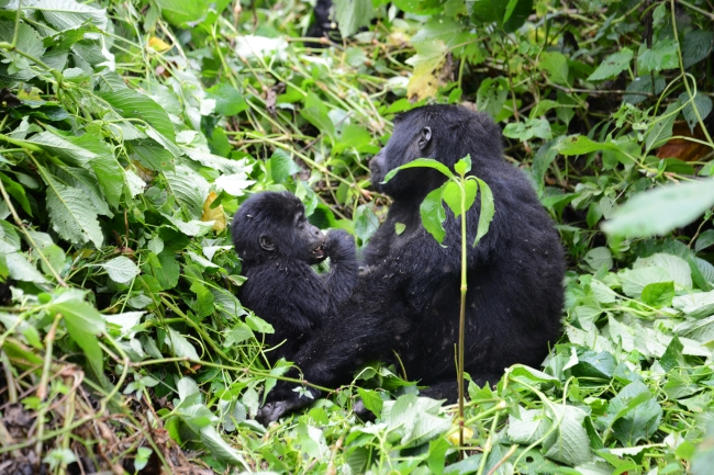 gorilla-mit-kind