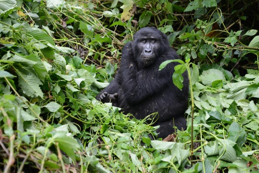 gorilla-tracking-2