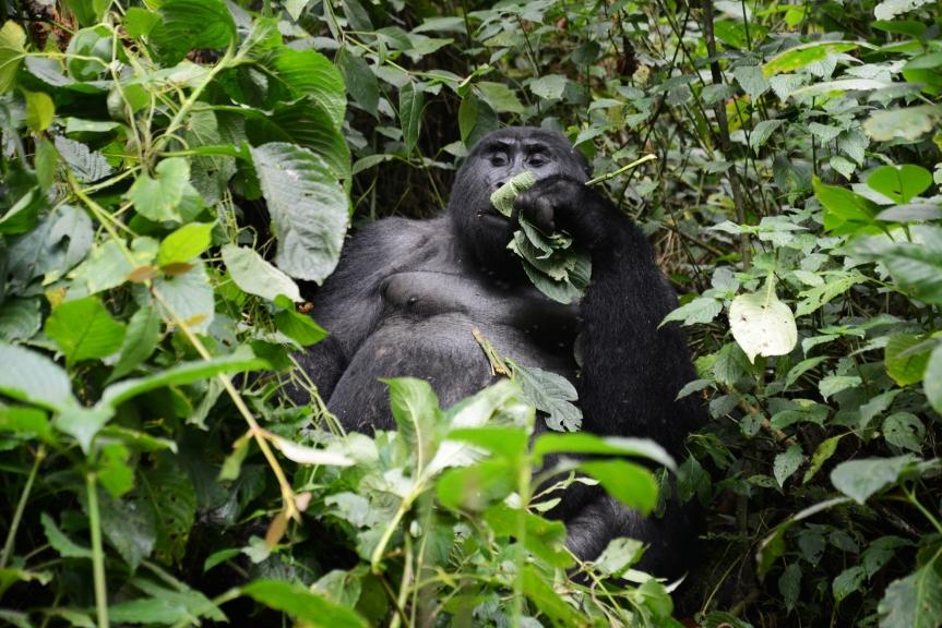 Bei den Berggorillas inUganda
